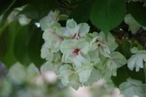 10ウコン桜