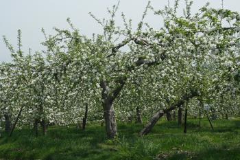 満開のりんご園