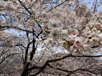 桜のアップ♪