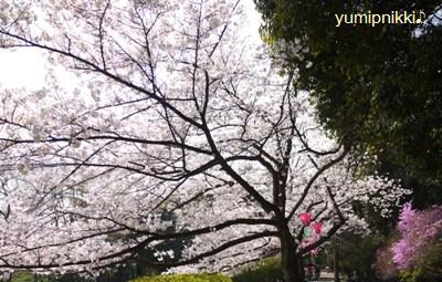 K公園でお花見☆