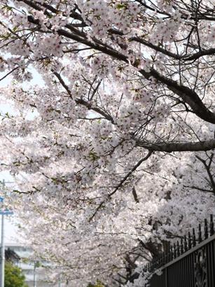 息子の通っていた幼稚園の桜♪