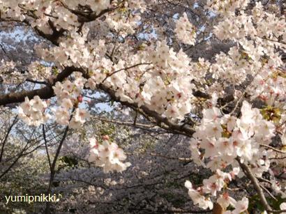 お花見090407本当にきれいな桜♪