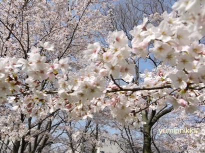 お花見090407桜1