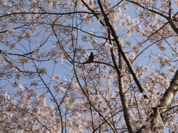 お花見090407桜の中の鳥2