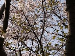 お花見090407桜の中の鳥3