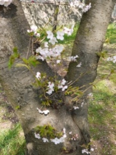 お花見090407桜の木から桜の花
