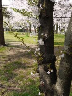 お花見090407桜の木から桜の花2