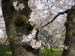幹から出る桜の枝♪