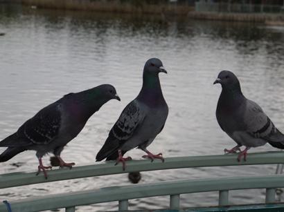 鳩の作戦会議!?