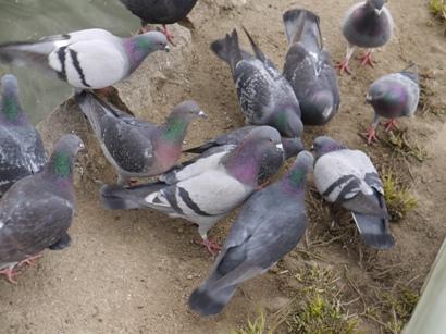 餌を食べる鳩たち♪