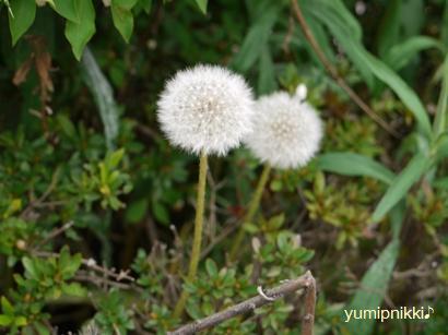 タンポポの綿毛♪