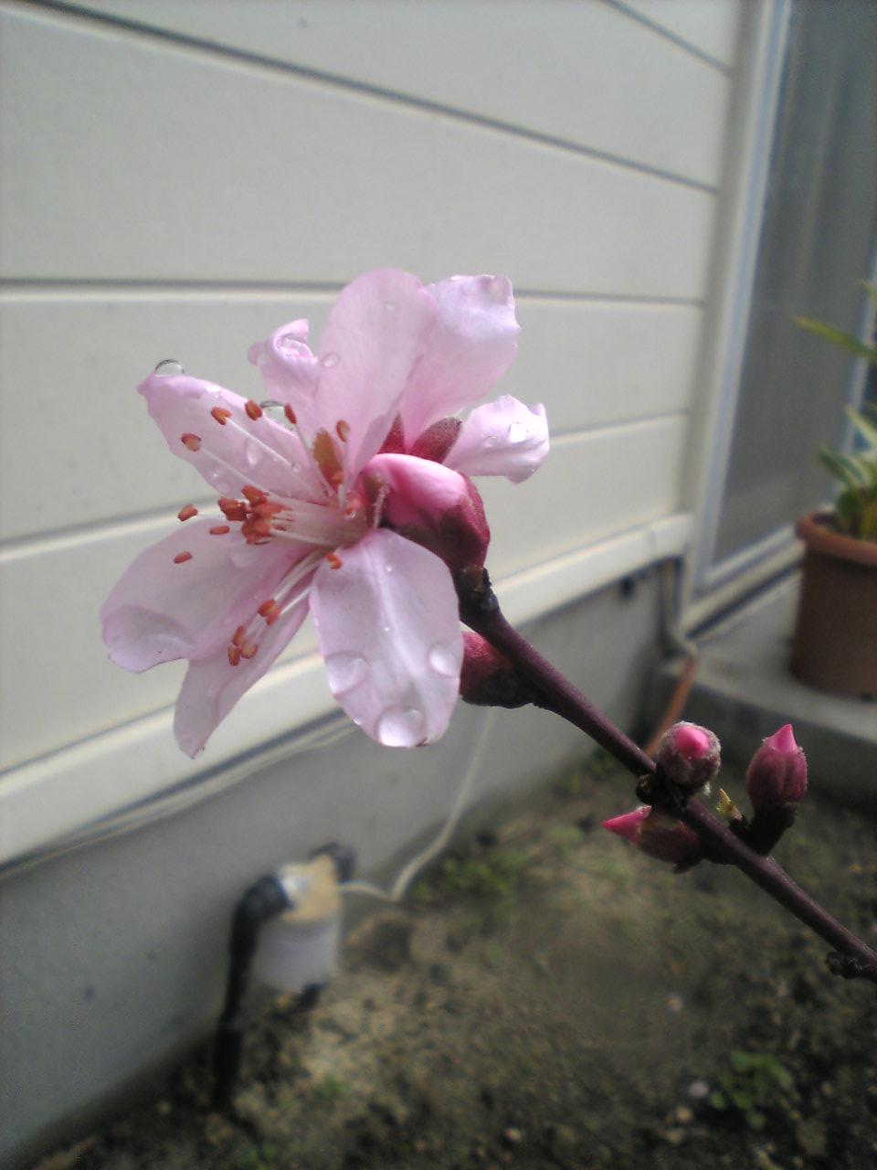 20_4_14桃の花