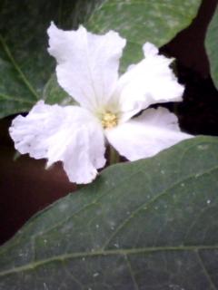 ヒョウタンくんの花