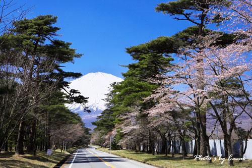 母が愛した富士と桜