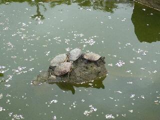 5.3池の亀