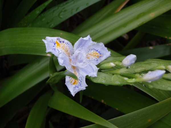 Flinged Iris