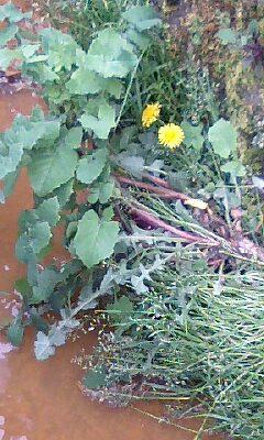 側溝の雑草2