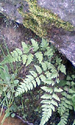 側溝の雑草3