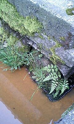 側溝の雑草4