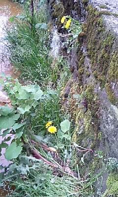 側溝の雑草6