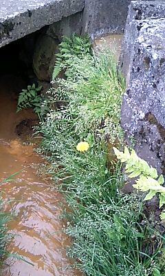 側溝の雑草9