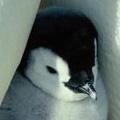 コウテイの子ペンギン