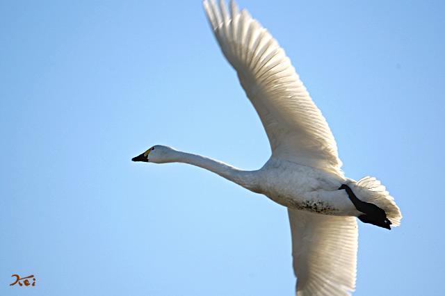 090125白鳥ガバ01