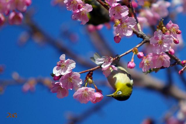 090307桜メジロ03