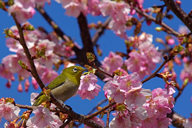 090307桜メジロ04