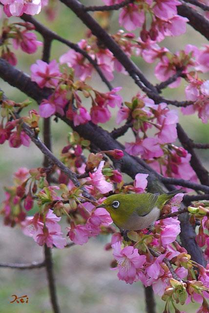 090307桜メジロ05