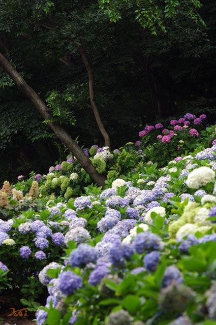90711紫陽花04