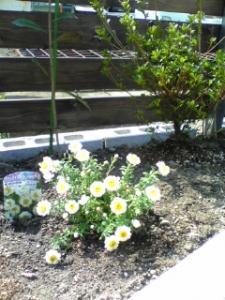 花かんざしとツツジ