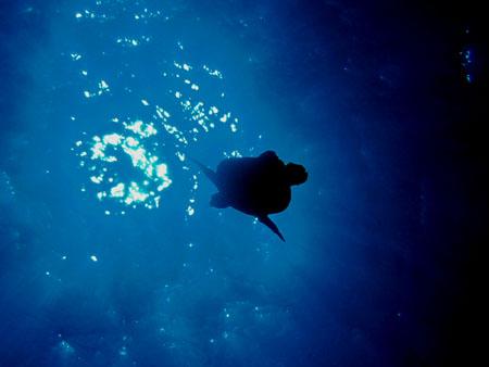 グロットのアオウミガメ