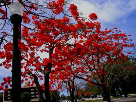 火炎樹(南洋桜)フレームツリー