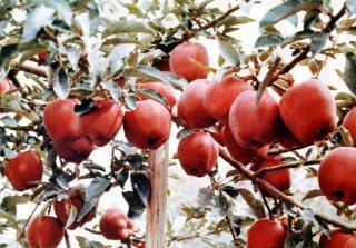 リチャードデリシャスの原木