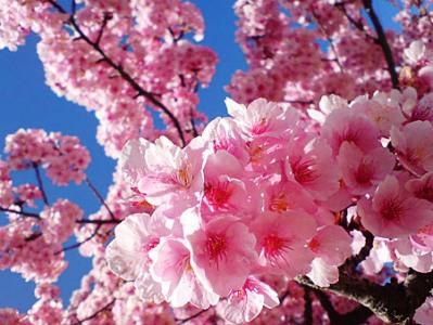 桜・騰越の戦い