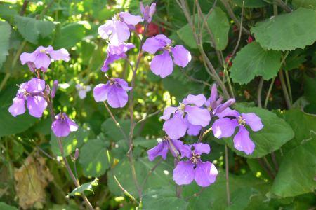 ムラサキハナナ (紫花菜)