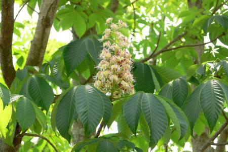 トチノキ ( 栃の木 )