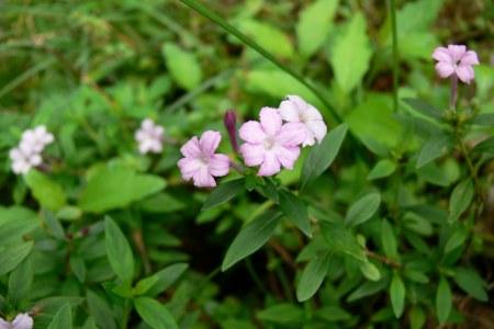 シチョウゲ ( 紫丁花 )