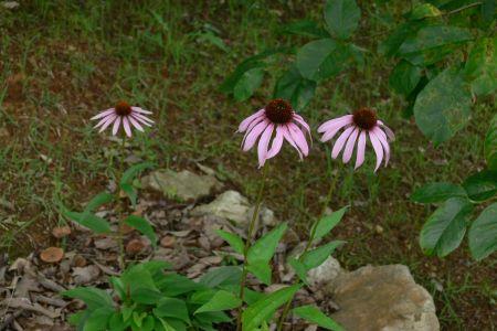 ムラサキバレンギク ( 紫馬簾菊 )