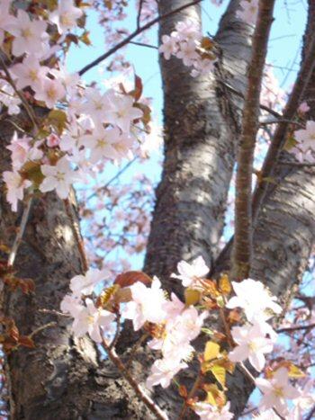 cherry blossom-2